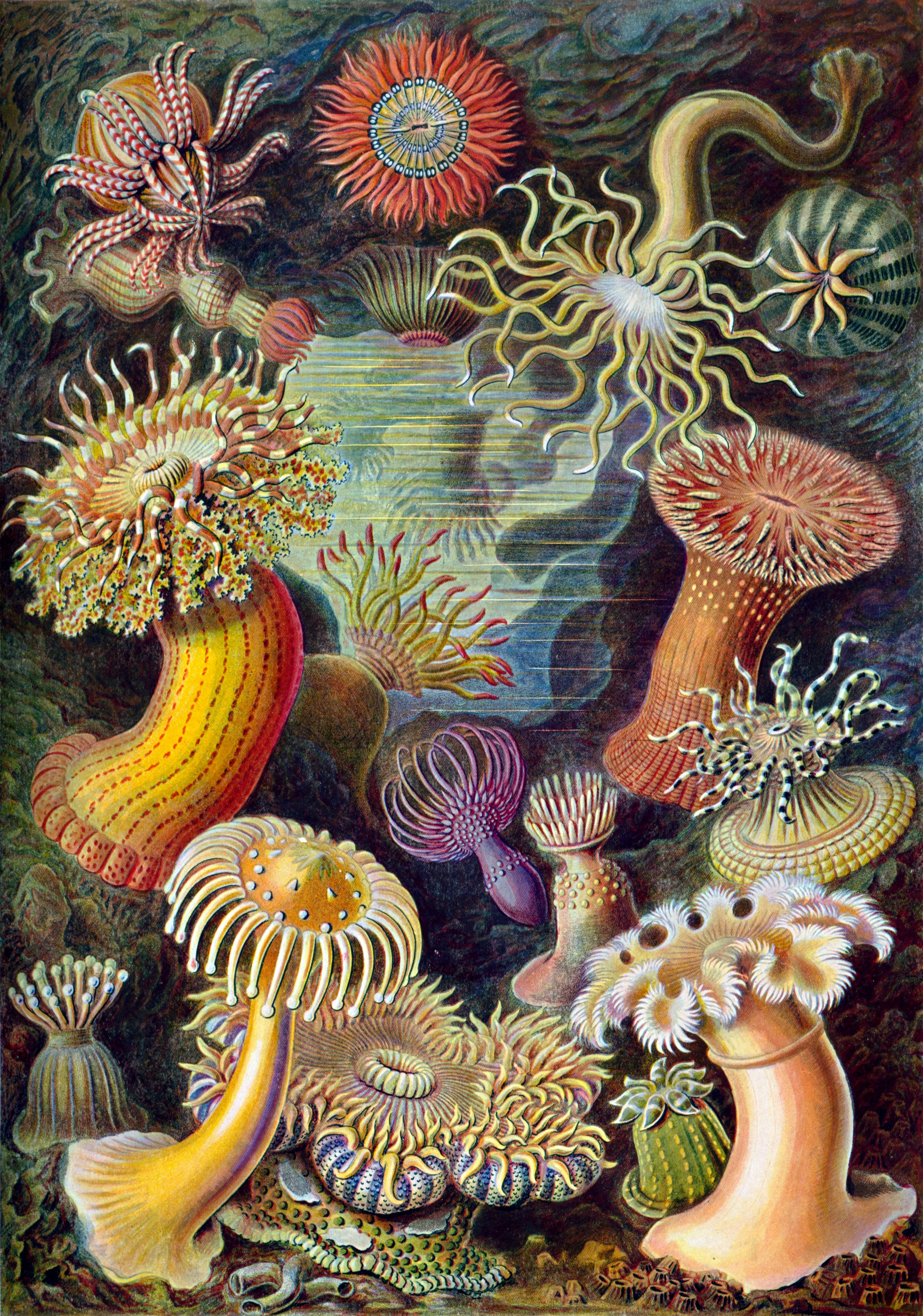 Haeckel sea anemone